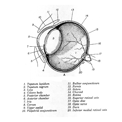31g the first figure shows a cross section of the eyeball the major features i want to emphasize are the cornea 8 the iris7 the lens 3 the retina 15 ccuart Image collections
